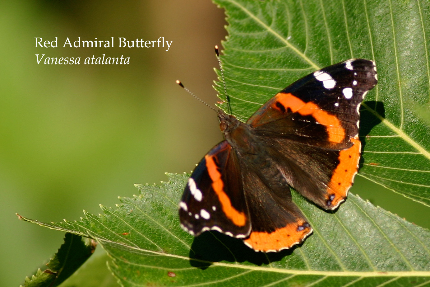 Red Admiral Butterfly at Kuse Nature Preserve