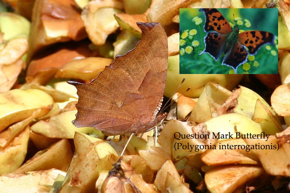 Question Mark Butterfly Question Mark Butterfl...