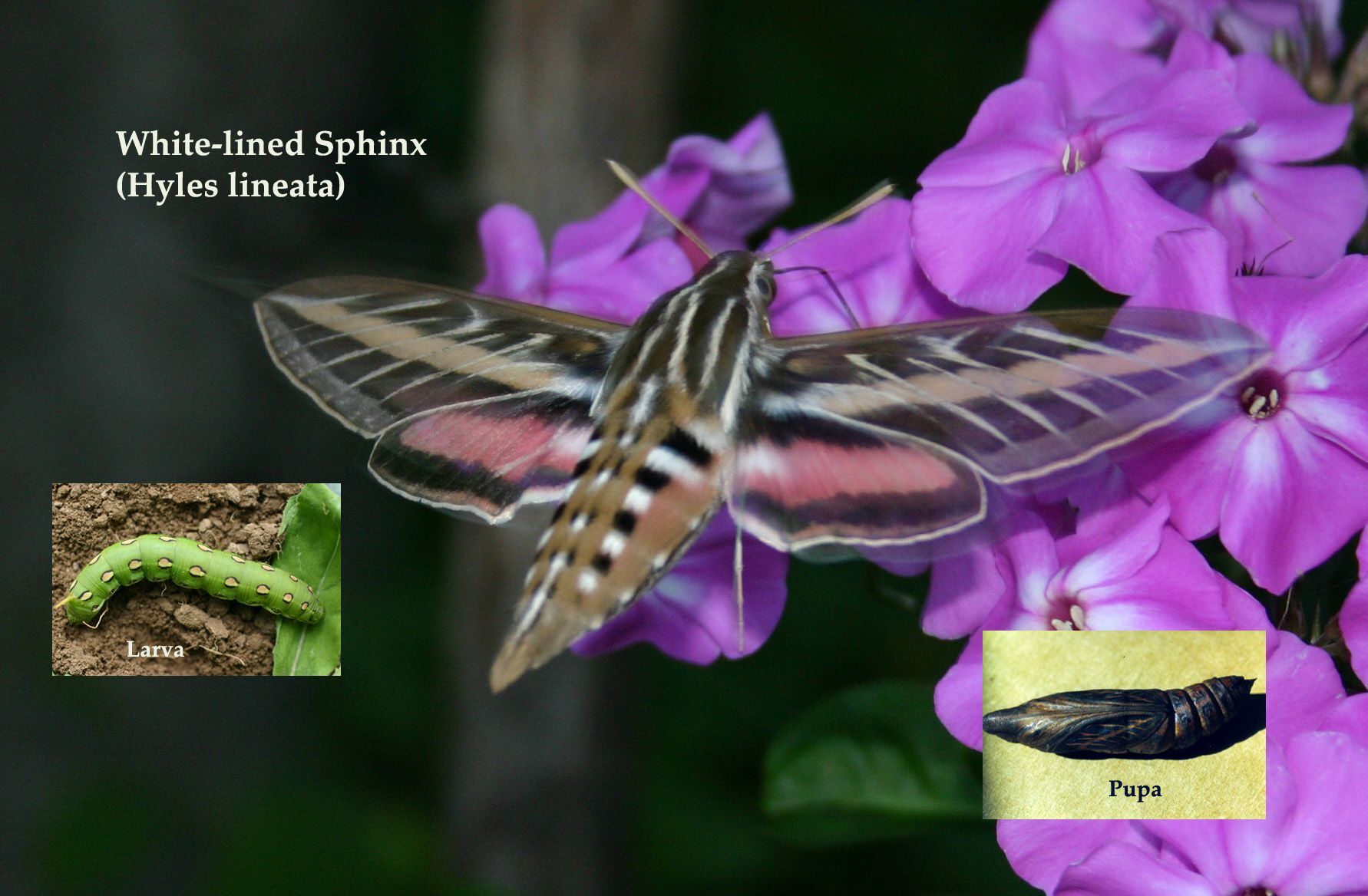 White lined sphinx moth life cycle - photo#17